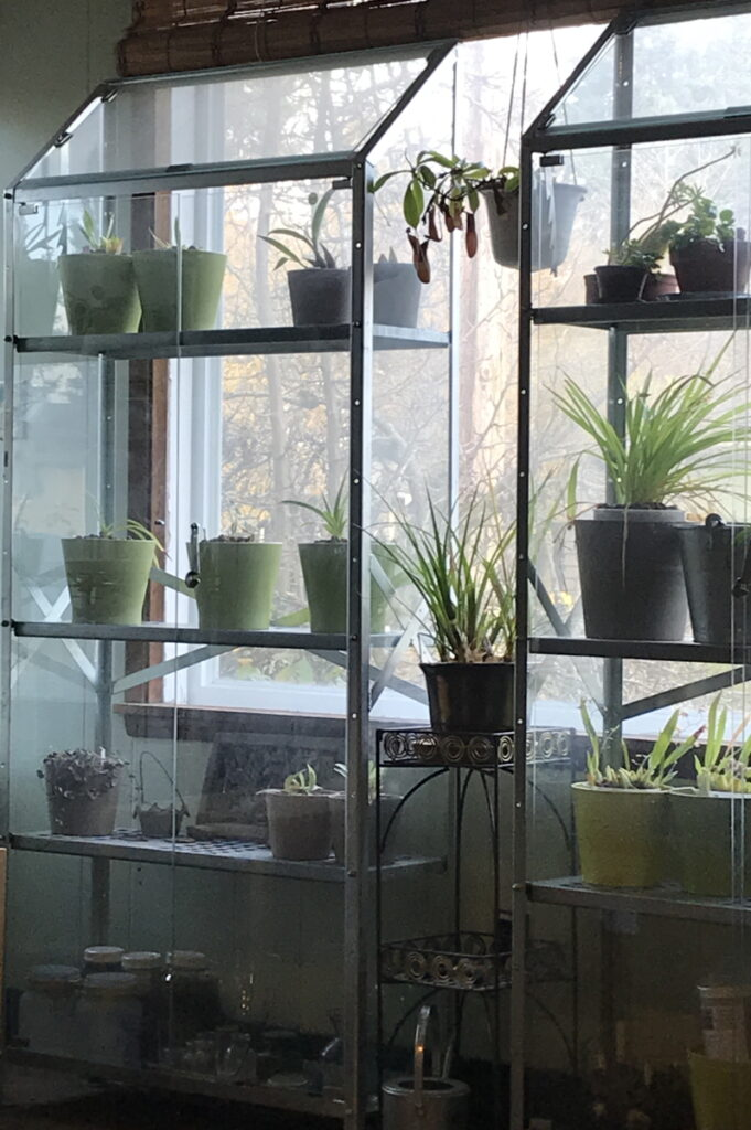 Two indoor greenhouse shelves hold houseplants such as orchids and tropical pitcher plants against a window.