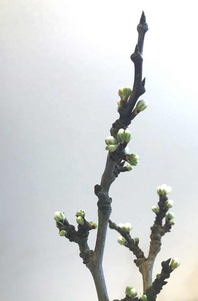 Closeup photo of cut plum branches breaking into bud.