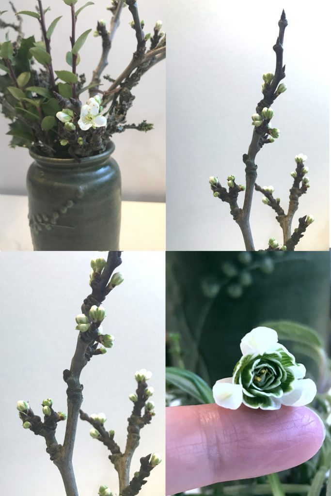 Compiled image of a small winter flower arrangement in a vase, with closeups of plum branches breaking into bud, and double snowdrops.