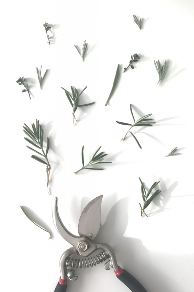 Photo flatlay of pruners with small rosemary, lavender, and thyme clippings.