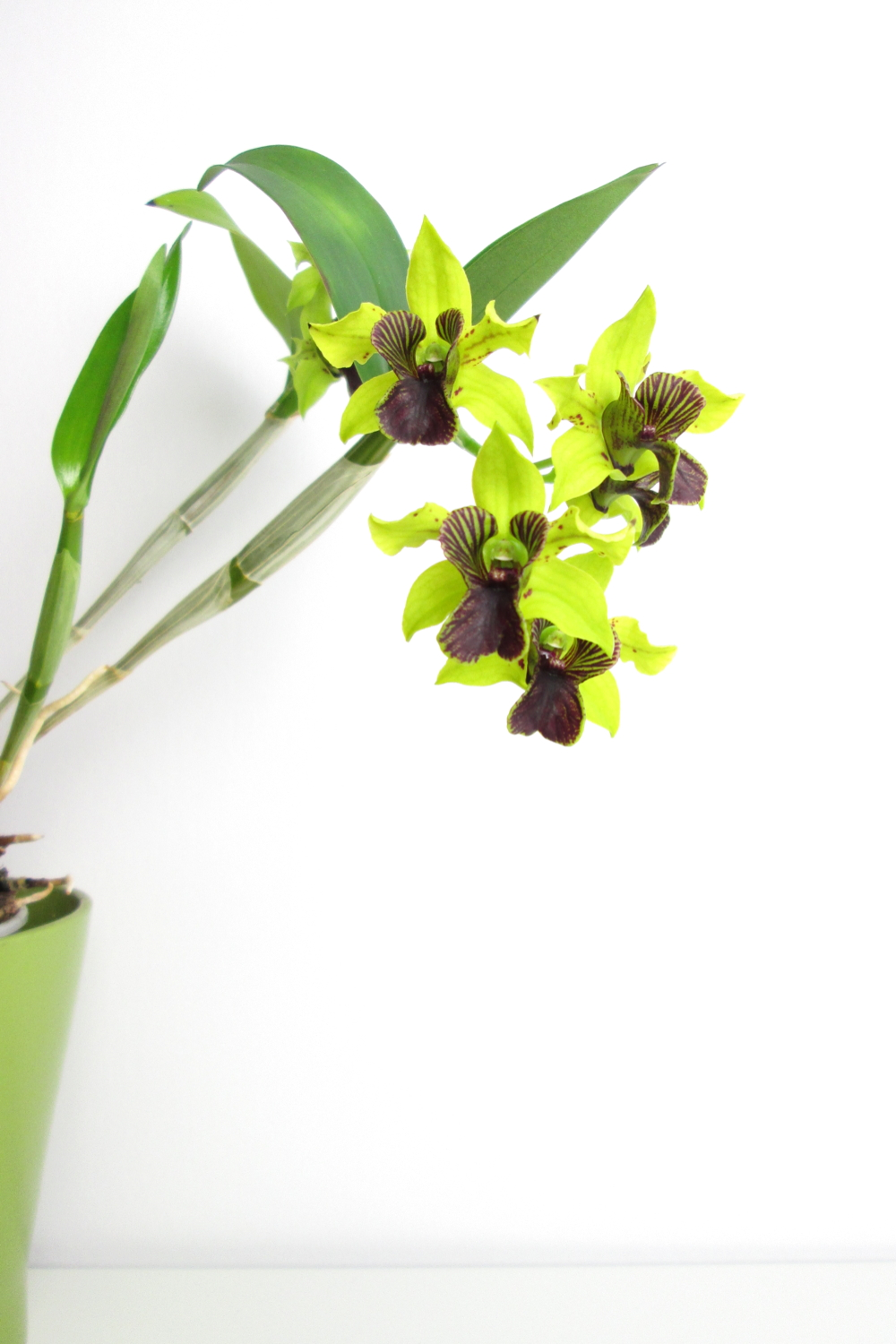 Potted green and purple orchid: Dendrobium 'Green Flash' in bloom.
