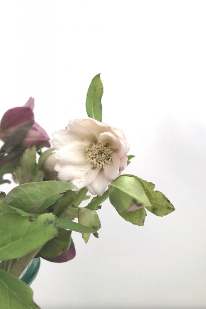 closeup of cut hellebore flowers in a glass vase, focusing on a pale pink double hellebore