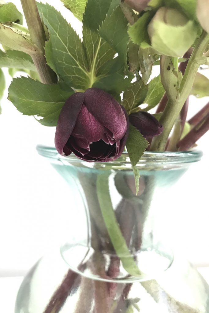 closeup of cut hellebore flowers in a glass vase, focusing on a dark plum hellebore beginning to open