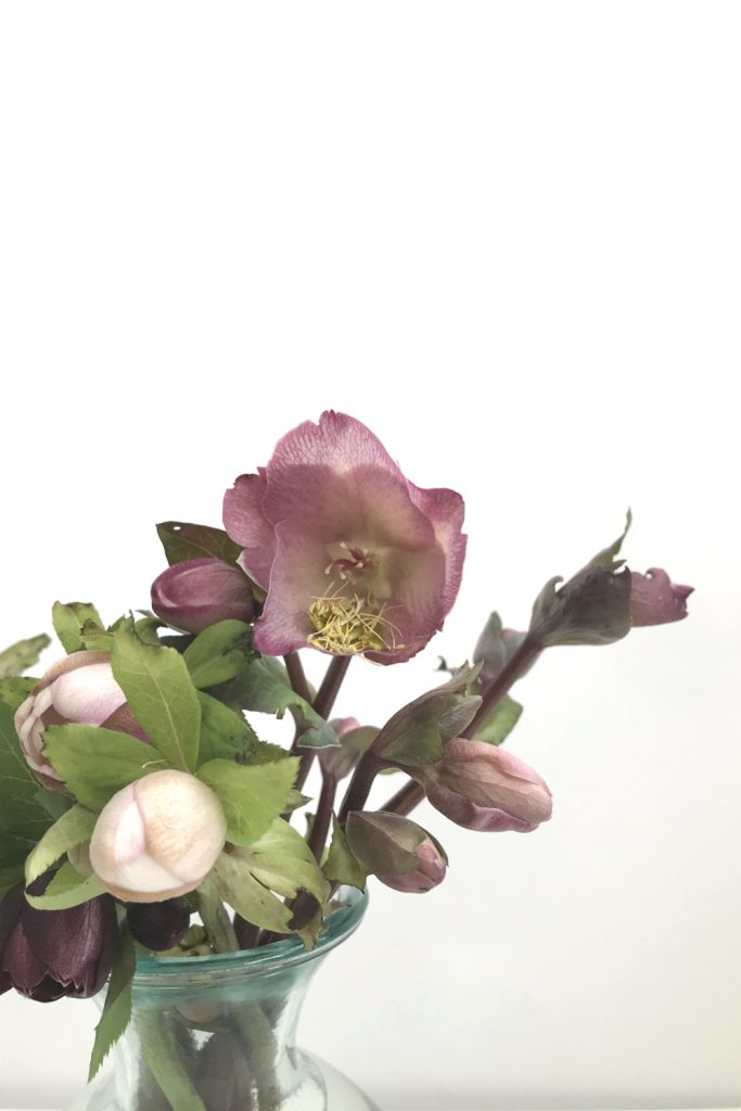 closeup of cut hellebore flowers in a glass vase, focusing on a dusty pink hellebore