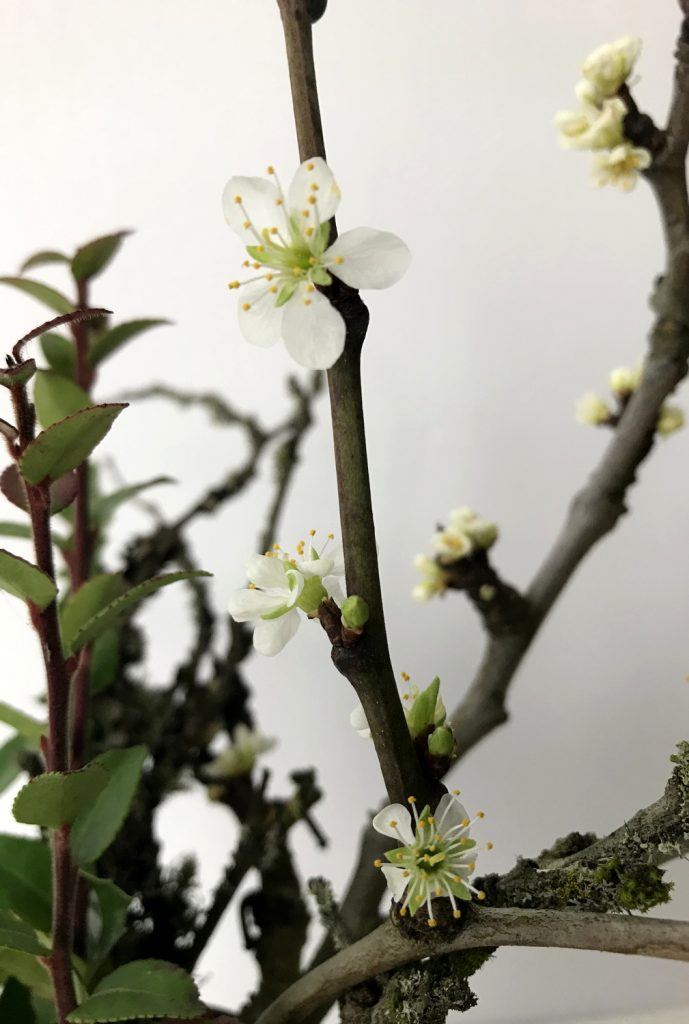 Closeup of bare plum branches bursting into white flowers amid evergreen huckleberry leaves..