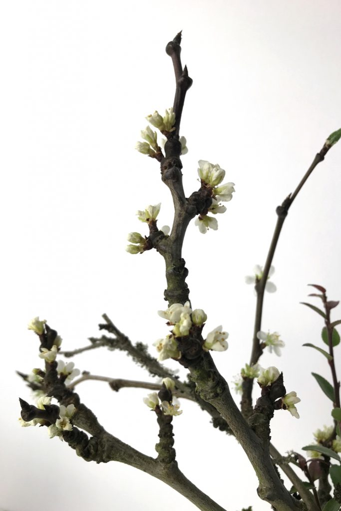 Closeup of a bare plum branch bursting into white flowers.