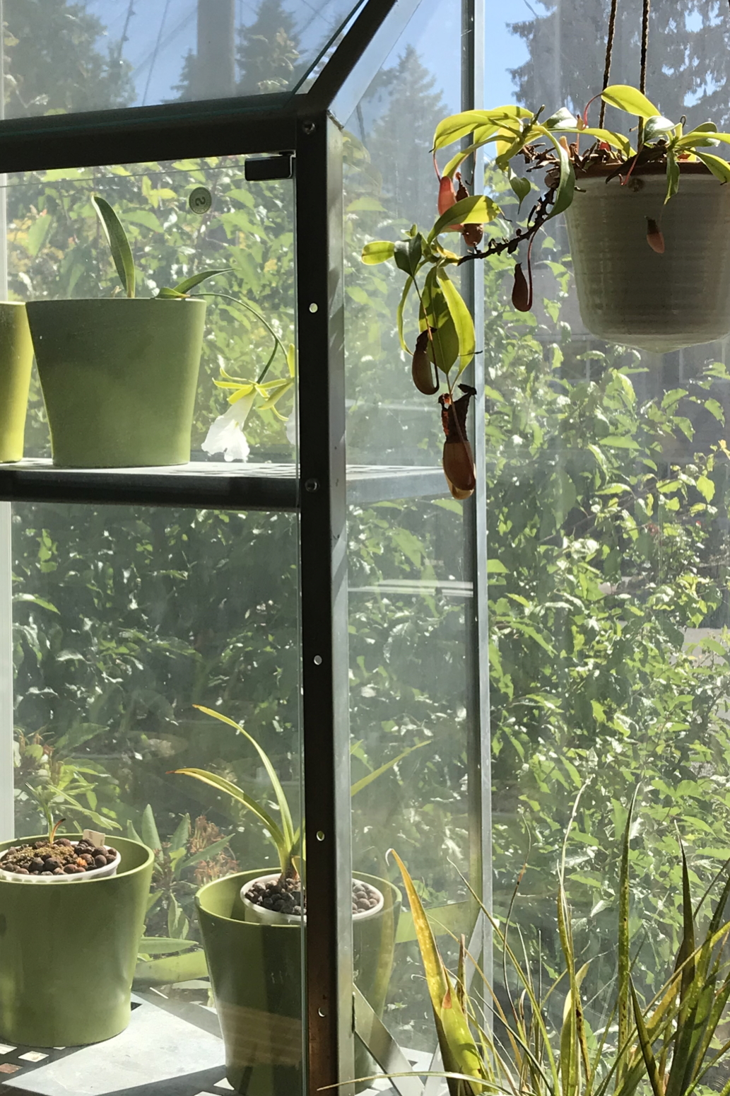 A nepenthes pitcher plant hangs over a bromeliad, next to an indoor greenhouse with orchids, including a blooming Encyclia mariae (formerly Euchile mariae).