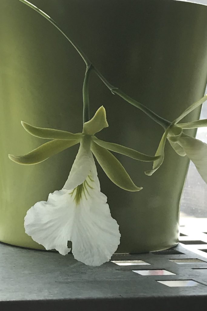 Closeup of two green and white flowers of orchid Encyclia mariae (formerly known as Euchile mariae), with a green pot behind them.